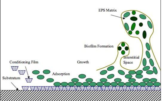 biofilm research